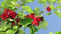 car il nous envoie du ciel la pluie et des fruits abondants en leur saison. Oui, c'est lui qui nous donne de la nourriture en abondance et comble nos cœurs […]